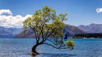Tega Banget, Pohon Paling Terkenal Selandia Baru Dirusak