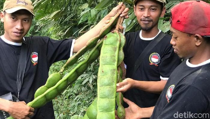 Buah pete raksasa dari hutan Banjarnegara
