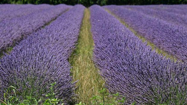 Lavender di Chatuzange-le-Goubet, Prancis tenggara