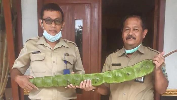 Kepala Dinas Pertanian Banjarnegara saat melihat buah mirip petai.