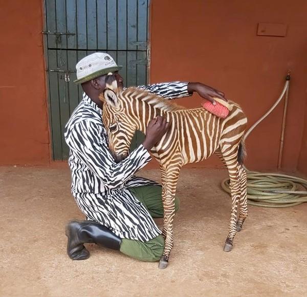 Zebra di dalam kelompoknya punya cara melindungi anggotanya yang luka atau sakit. Mereka akan berkerumun di dekat anggota yang sakit dan mengelilinginya, hingga mata predator tidak bisa mengidentifikasi. (Sheldrick Wildlife Trust )