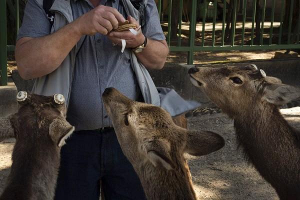 Biasanya rusa-rusa ini akan diberi makan biskuit rusa yang terbuat dari tepung gandum oleh wisatawan. (Foto: Jae C.Hong/AP)