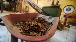 PT Perkebunan Nusantara VIII di Bukit Unggul, Kabupaten Bandung, terus memproduksi tepung kulit kina untuk penanganan Corona.