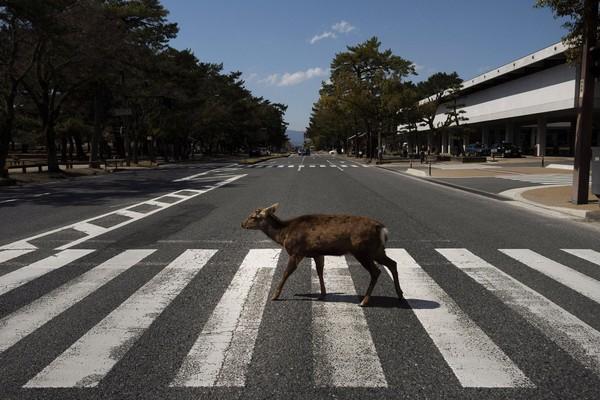 Melihat kawanan rusa yang turun ke jalan merupakan pemandangan langka. Sayangnya, sekawanan rusa yang berjalan di tengah jalan raya justru mengganggu lalu lintas. (Foto: Jae C.Hong/AP)