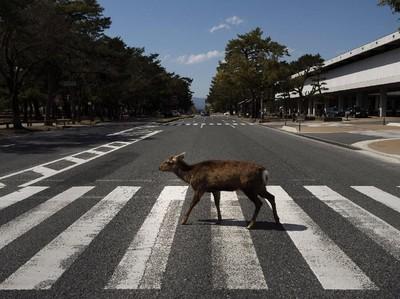 Potret Rusa Kelaparan Berkeliaran Cari Makan di Jalanan Jepang