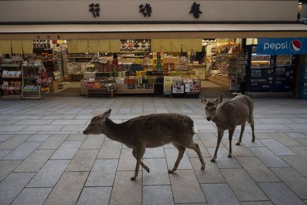 Rusa-rusa ini tetap jalan-jalan seperti biasanya mencari makanan karena minimnya turis yang memberi mereka makanan. (Foto: Jae C.Hong/AP)