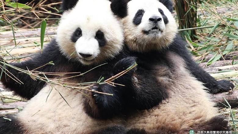 Pembibitan Panda Raksasa dibuka Kembali
