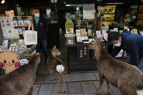 Walaupun sebagian rusa tetap tinggal di wilayah Nara Park, ada pula rusa yang masuk ke toko cenderamata dan restoran yang ada di sekitar taman itu. (Foto: Jae C.Hong/AP)