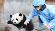 Kasihan, 2 Bayi Panda Kembar di China Mati karena Komplikasi Organ