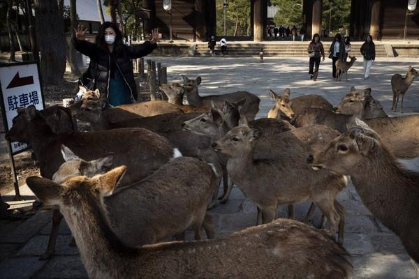 Setumpuk biskuit akan cepat habis ketika rusa-rusa berkerumun di sekitar wisatawan yang murah hati. Rusa-rusa itu akan menganggukkan kepala seolah-olah mereka membungkuk dengan gaya Jepang. (Foto: Jae C.Hong/AP)