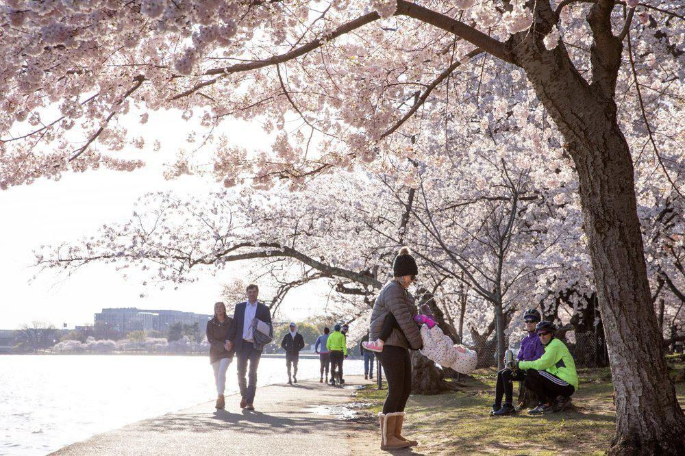 Meski Dilarang, Warga Washington Antusias Saksikan Sakura Mekar