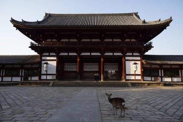 Pandemi Corona telah membuat berbagai tempat wisata di Jepang sepi, termasuk kuil-kuil situs warisan dunia UNESCO yang berada di Nara. Orang-orang di Nara saat ini mengurangi aktivitas luar ruang mereka namun tidak dengan rusa-rusa di sana. (Foto: Jae C.Hong/AP)