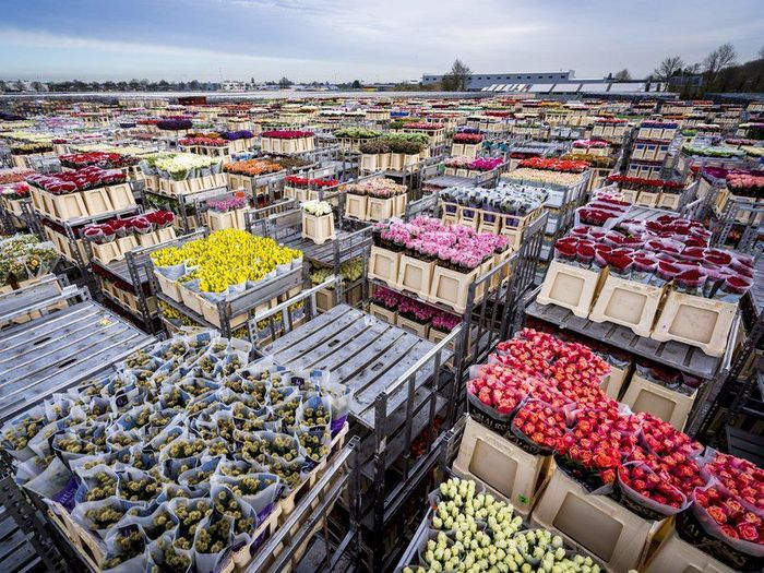 Industri Bunga di Belanda Layu