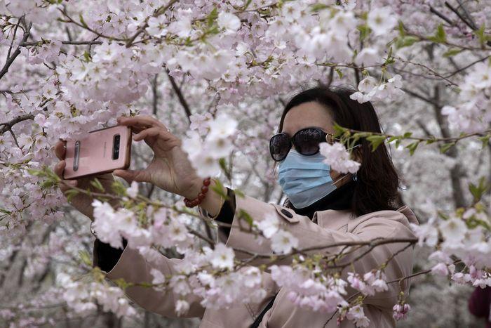 Musim semi telah tiba, mekarnya bunga sakura seakan mengundang warga Beijing untuk keluar rumah, meski aturan karantina masih berlangsung.