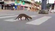 India Lockdown, Binatang Langka Ini Malah Muncul Lagi