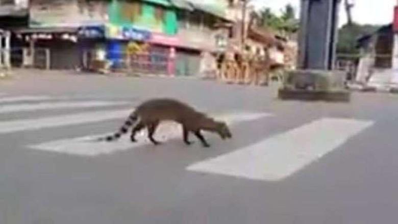 Musang malabar, binatang langka di India.