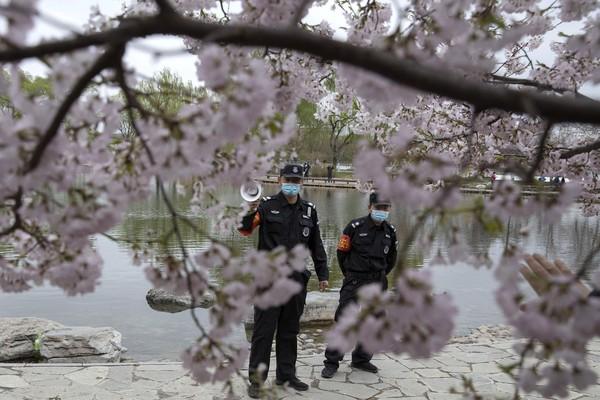 Petugas keamanan pun berusaha mencegah warga agar tak berkerumun dan mendatangi lokasi mekarnya bunga sakura tersebut.
