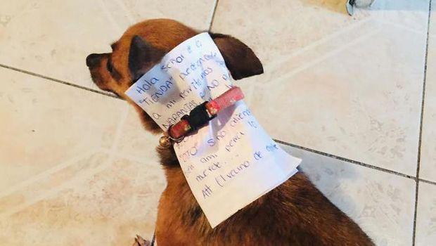 Anjing chihuahua Antonio yang dilatih