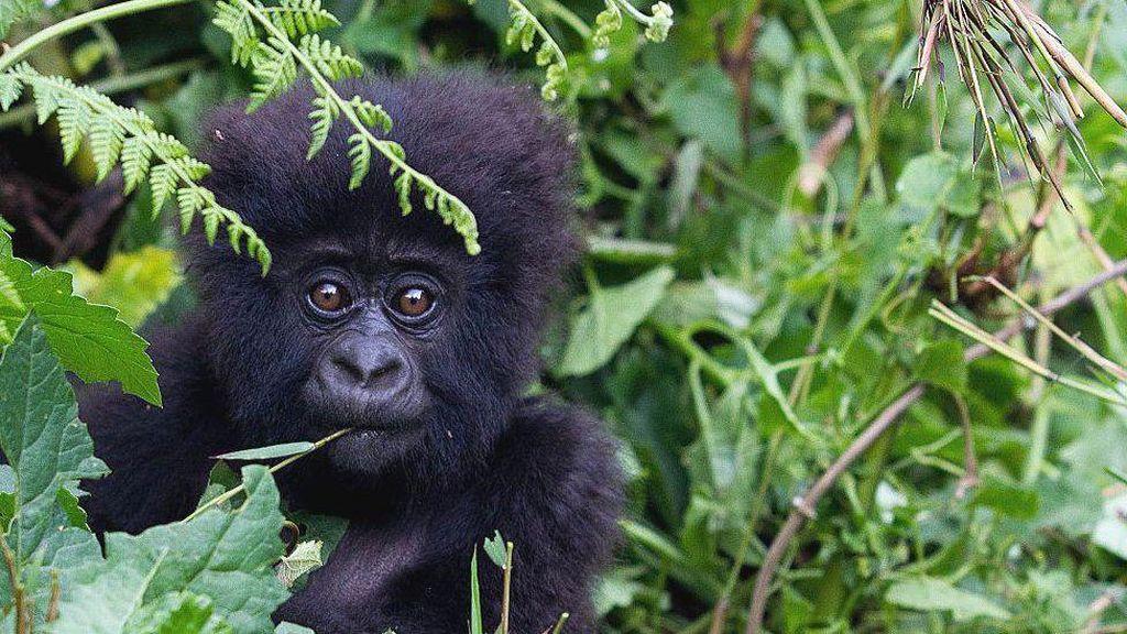 Orang Utan, Simpanse dan Gorila Liar Perlu Dilindungi dari Virus Corona