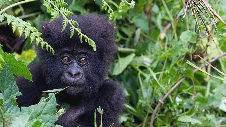 Virus corona: Orang utan, simpanse, gorila liar, kerabat terdekat manusia perlu dilindungi dari ancaman infeksi Covid-19