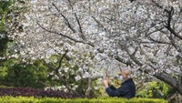 Bunga Sakura Mulai Merekah di Wuhan
