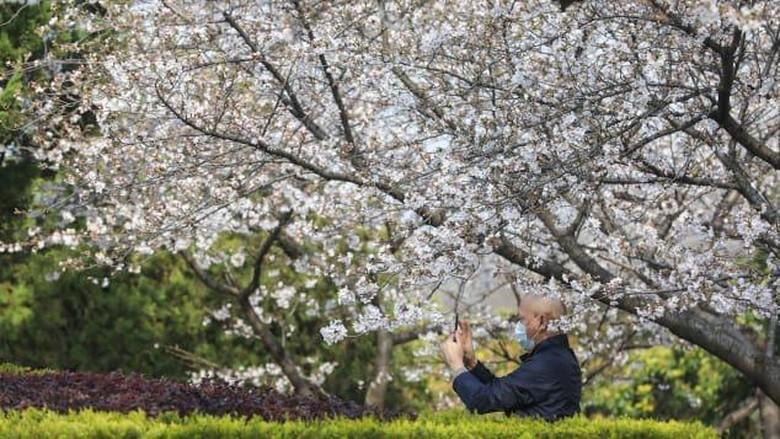 Bunga Sakura di Universitas Wuhan