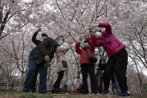 Nampak sejumlah warga berselfie bersama dengan latar pohon sakura di Yuyuantan Park in Beijing, China. Mekarnya sakura ini membuat warga mulai mendatangi lokasi mekarnya sakura tersebut.
