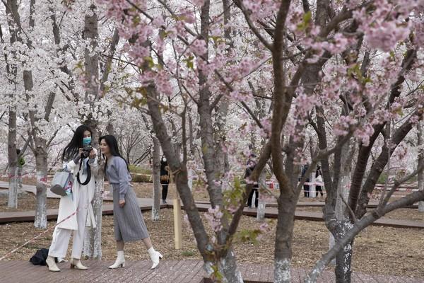 Warga seakan tak dapat menahan diri untk terus berdiam dari dirumah ketika melihat mekarnya sakura di Yuyuantan Park in Beijing, China.