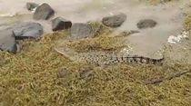 Penampakan Buaya Kuning di Sungai Porong Sidoarjo Jadi Tontonan Warga
