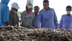 Edhy Prabowo Panen Udang Vaname Sekaligus Dengar Curhat Penambak