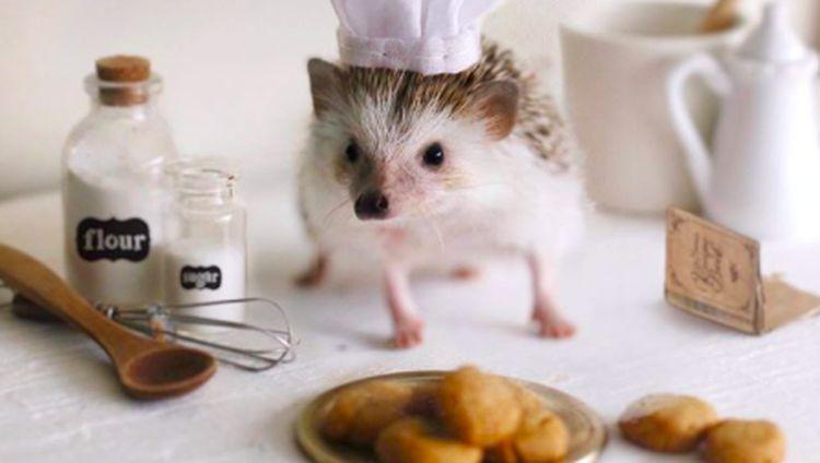 Cinnamon, Landak Hedgehog yang Hobi Pose dengan Makanan