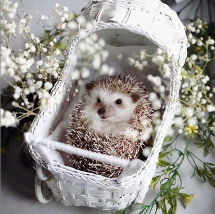 Cinnamon landak hedgehog