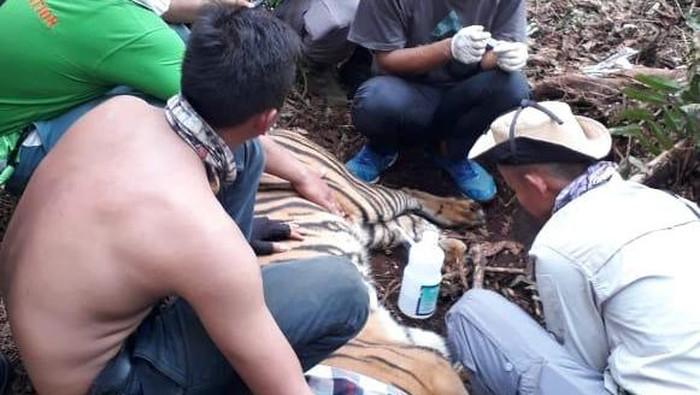 Seekor Harimau Sumatera terjerat di Area Konsesi HTI di Riau.