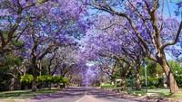 Ini adalah satu-satunya negara yang memiliki tiga ibu kota. Unik dan tiap kota dirancang untuk berbagi kekuasaan bagi seluruh wilayah. Pretoria dan Bloemfontein adalah kota kantor cabang pemerintahan. Pretoria dikenal dengan bunga-bunga jacaranda yang muncul setiap bulan September (Foto: CNN)