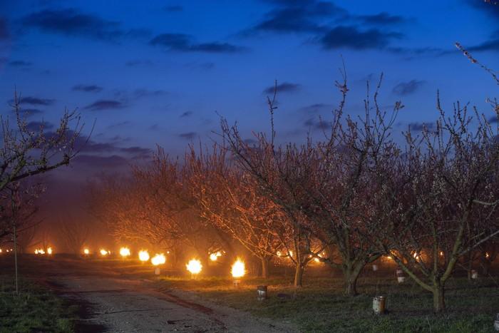 Musim salju mengancam perkebunan apricot warga di Hungaria. Agar pohon apricot mereka tidak membeku, warga menyalakan ratusan lilin di bawah pohon-pohon tersebut. Seperti ini.