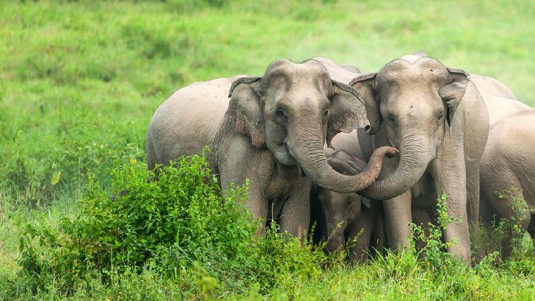 A herd of Asian Elephants are protectively a newborn elephant calf in the plain of Kui Buri National Park, Prachuap Khiri Khan, Thailand.