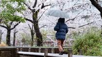 Di Tengah Wabah Corona, Salju Tutupi Bunga Sakura di Tokyo