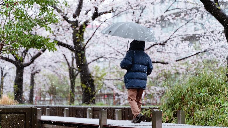 Bunga Sakura yang ditutupi salju.