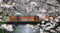 Ketika Salju Menyelimuti Bunga Sakura di Tokyo