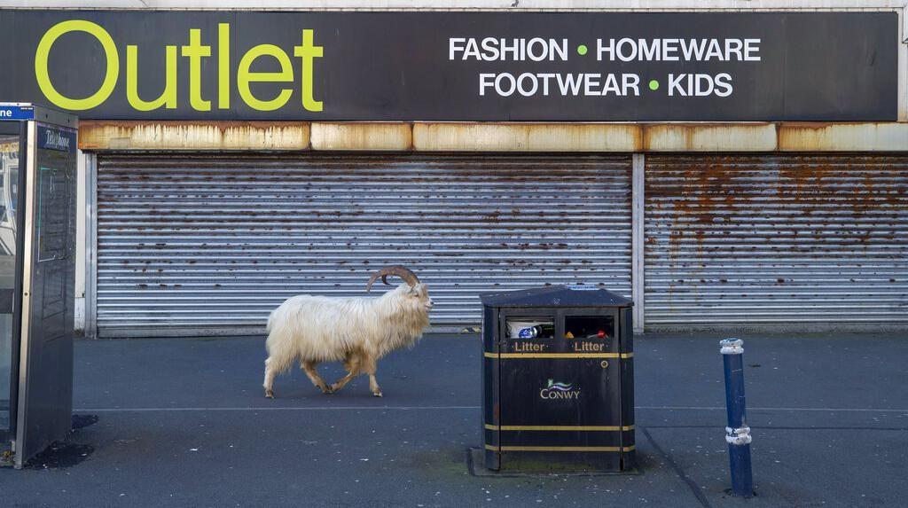 Kambing-kambing Kuasai Jalan di Kota Wales Inggris