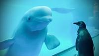 Aquarium Ditutup, Saatnya Penguin Jalan-Jalan Lihat Paus Beluga
