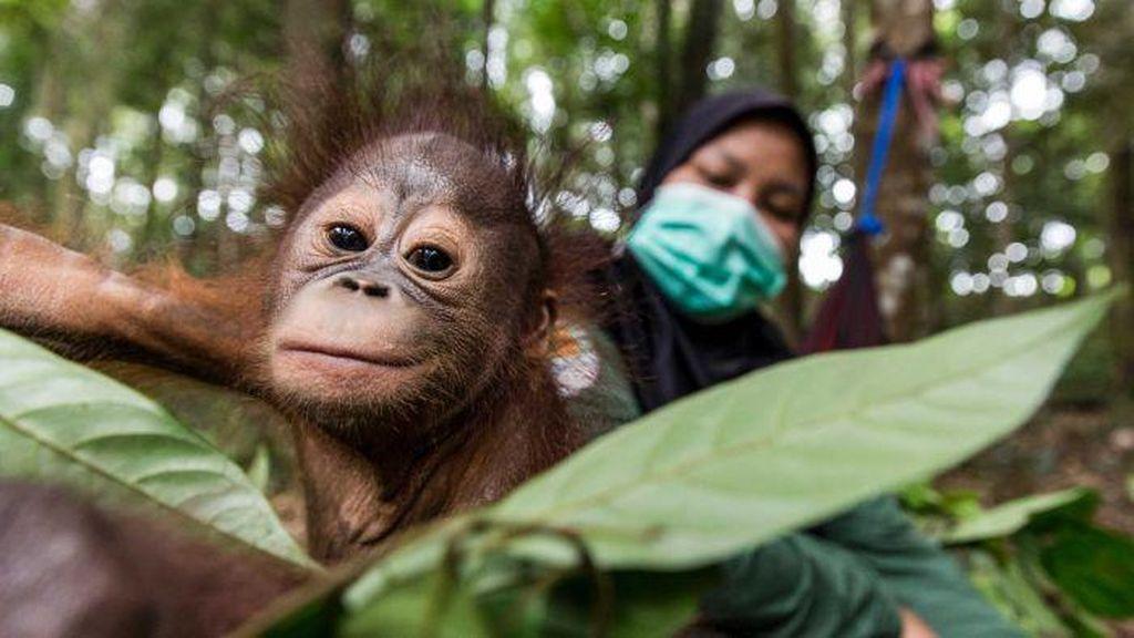 Mereka Setia Menjaga Orangutan dari Ancaman Virus Corona