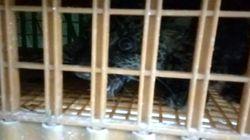 Warga Tangkap Macan Tutul yang Terjebak di Area Peternakan Ayam