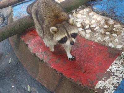 Foto: Bertemu Rakun Lucu di Batu Secret Zoo