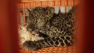 Hii! Ada Macan Tutul Terjebak di Peternakan Ayam Sukabumi
