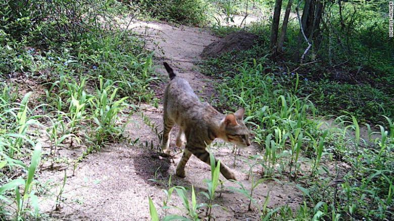 Kucing liar di hutan Madagaskar