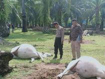 16 Lembu di Asahan Mati Mendadak-Hidung Berbusa, Penyebab Masih Misteri