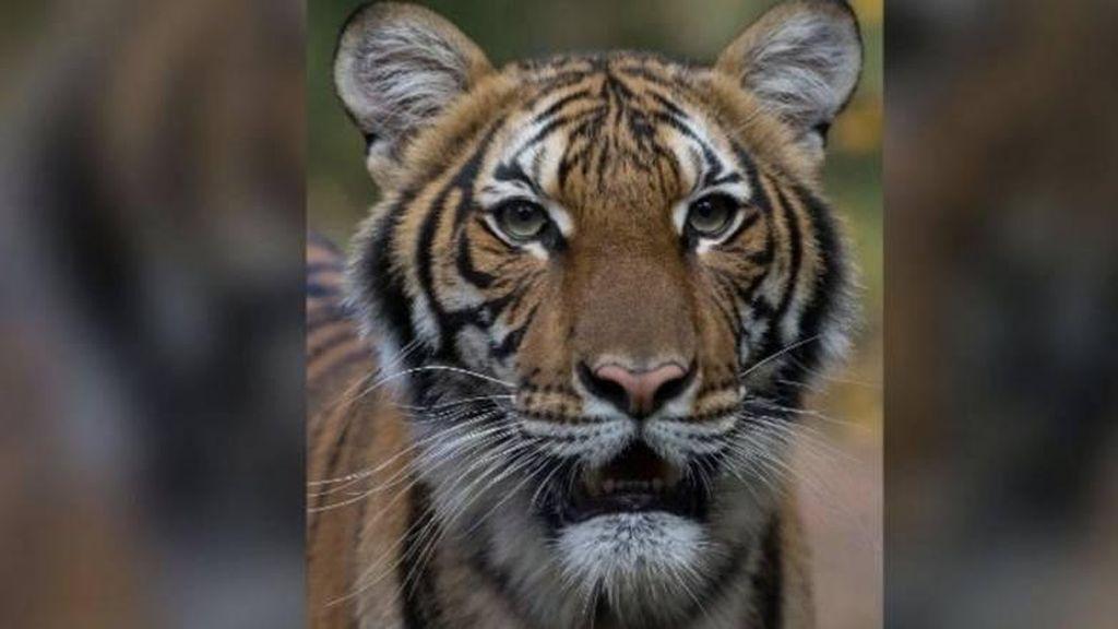 Heboh Penampakkan Harimau, Polisi Bersenjata Datang, Ternyata Patung!