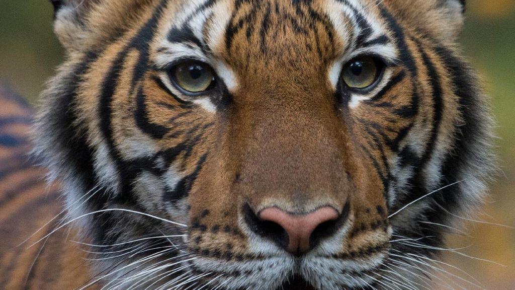 Seekor Harimau di Kebun Binatang New York Positif Virus Corona
