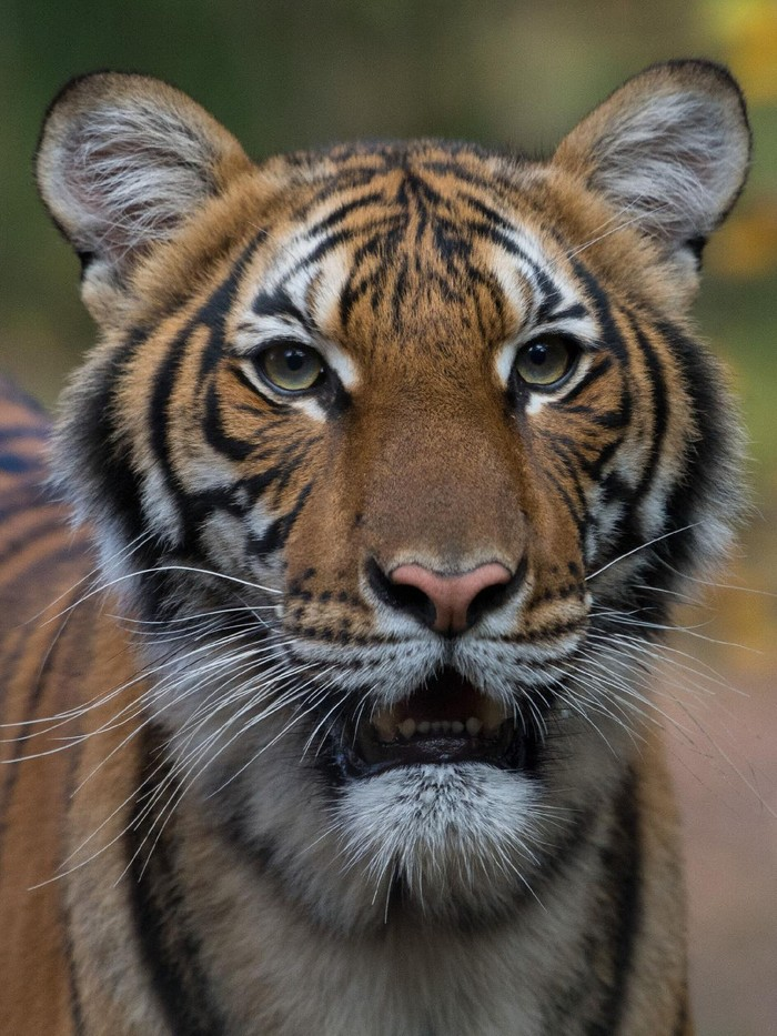Nadia, a 4-year-old female Malayan tiger at the Bronx Zoo, has tested positive for coronavirus. Wildlife Conservation Society's Bronx Zoo